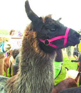 A llama joined the kickoff event as a part of the petting zoo at the library.