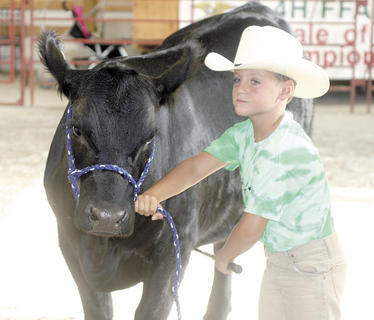 Tucker Ammerman, 6, of Dry Ridge hangs on to his heifer during the 4-H Cloverbuds show at the Grant County Fair.
