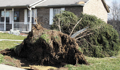 This large tree on Barley Circle, was uprooted by the winds.